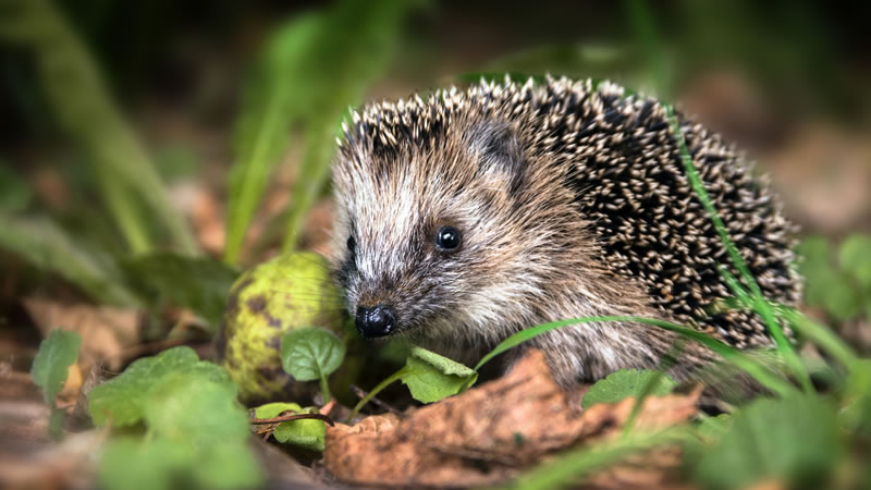Hedgehog Awareness Day at Fairhaven Woodland and Water Garden