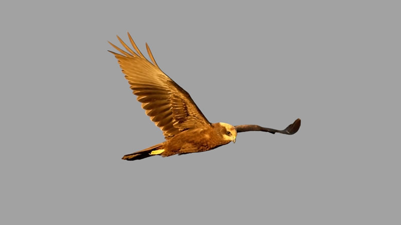 The Marsh Harrier is a Norfolk Success Story