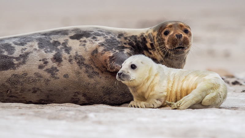 Visit the Grey Seals at Horsey, Norfolk