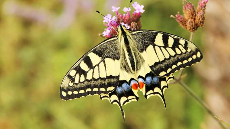 See the Swallowtail Butterfly in Norfolk